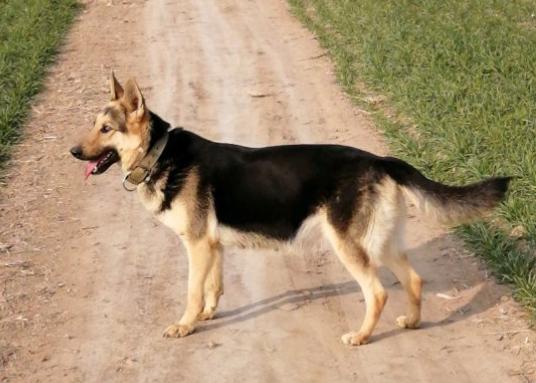 中国昆明犬图片
