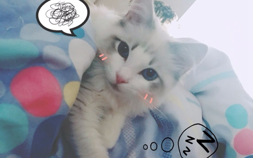 布偶猫怎么训练用猫抓板