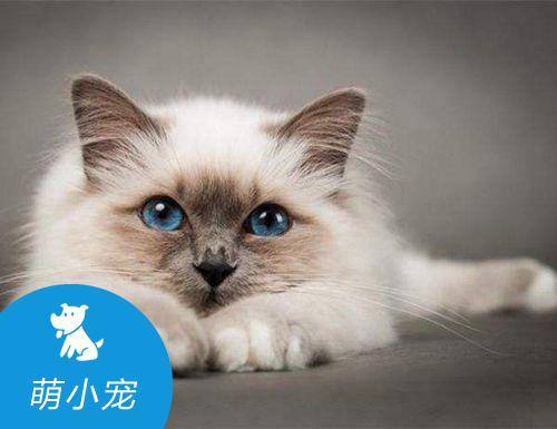 巴厘猫眼睛红肿糜烂怎么办,如何治疗救治