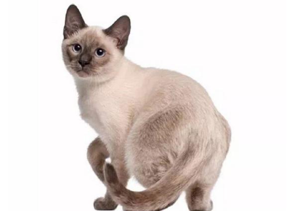 东奇尼猫图片