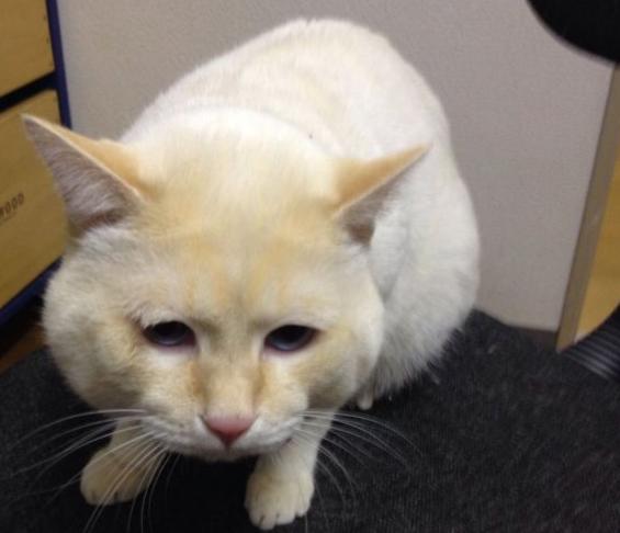 日本短尾猫图片