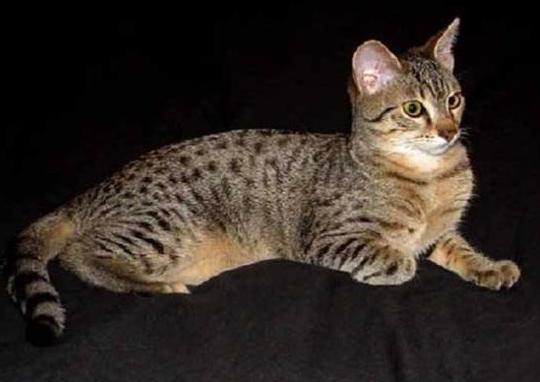 埃及猫怎么训练,埃及猫训练4点不要忽略