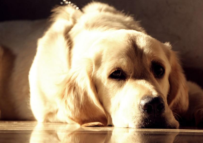 宠物狗能吃香椿炒鸡蛋吗?