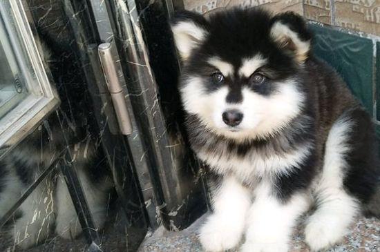 阿拉斯加雪橇犬训练技巧,这5点不能忽略