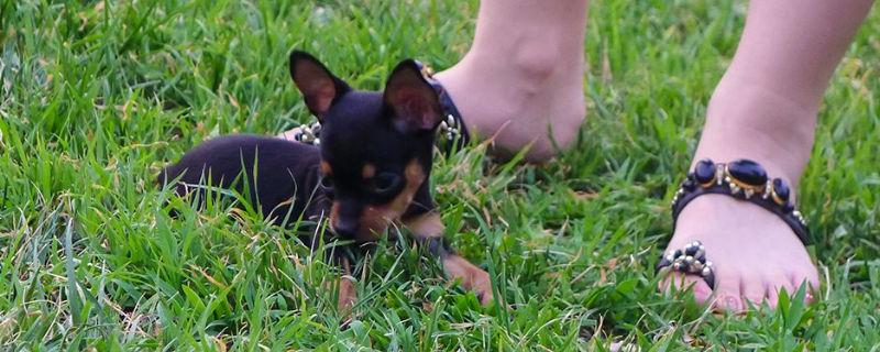 一个月小鹿犬幼犬怎么养