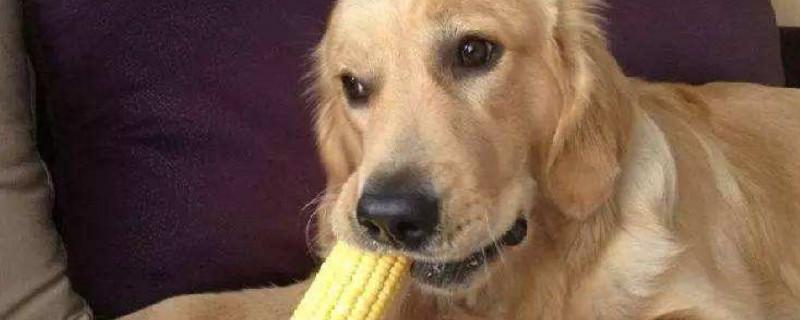 宠物狗能吃玉米棒芯吗?