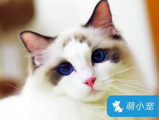 布偶猫眼睛颜色等级,布偶猫眼睛有哪些颜色