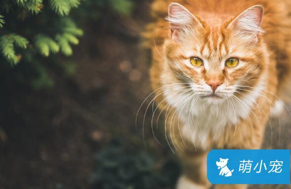 纯种英国短毛猫多少钱?