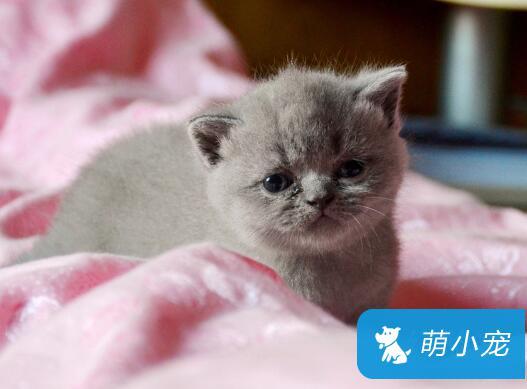 英国短毛猫的生活习性