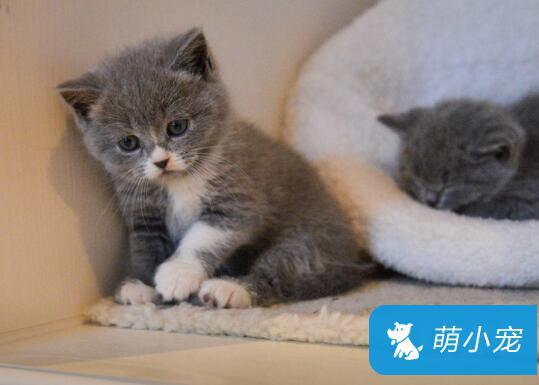 家养的英国短毛猫寿命更长