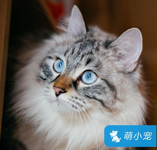 布偶猫多大做绝育?布偶猫绝育比较好的时间