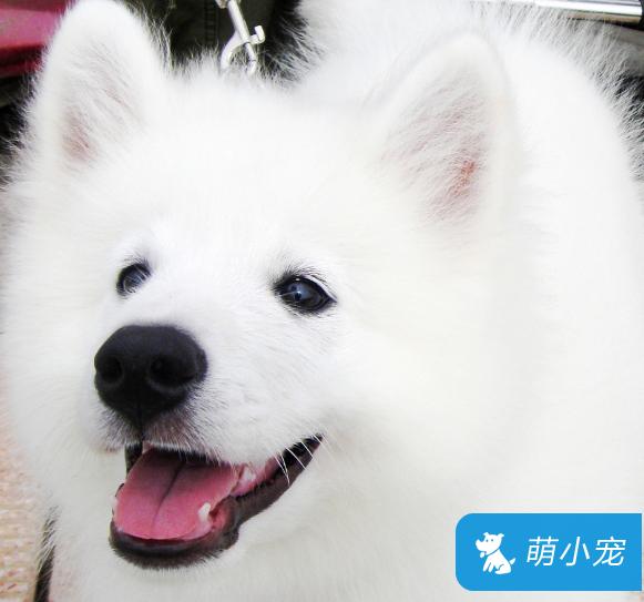 萨摩耶犬发情期怎么办 第一次发情不能交配!