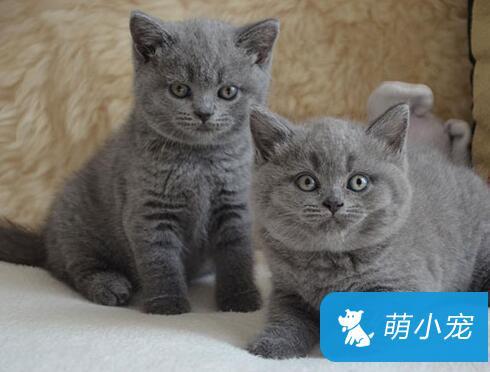 怎么判断英国短毛猫是否老了