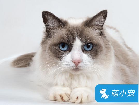 布偶猫绝育,布偶猫绝育原因