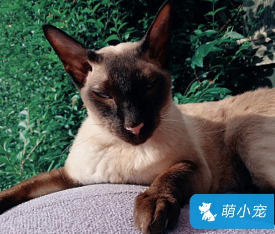 暹罗猫剃毛为什么会变黑?怎么办?