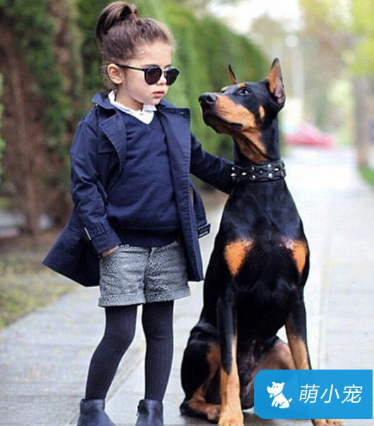 杜宾犬价格,不同等级贵宾犬的价格