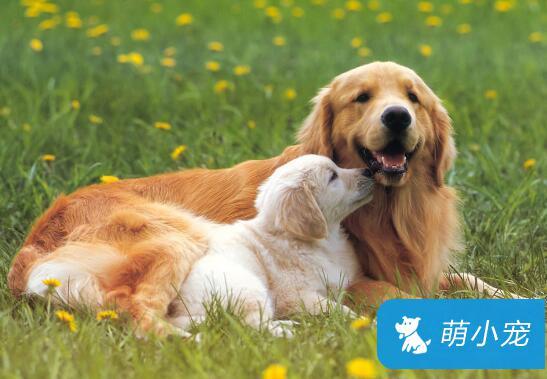 狗狗掉毛是什么原因?狗狗掉毛怎么办