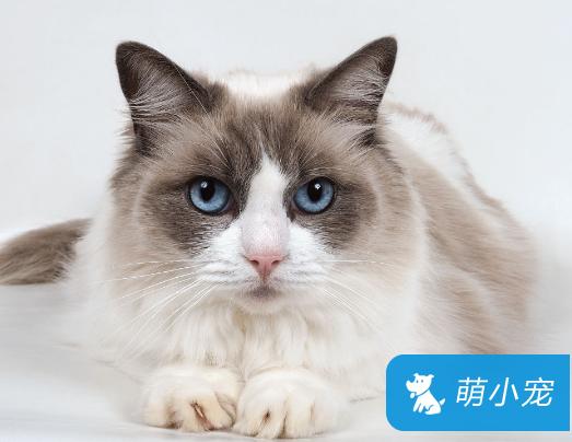 布偶猫几个月发情、发情期间需要做什么事情