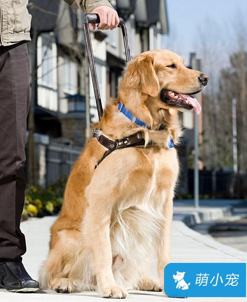 导盲犬怎么训练,导盲犬训练方法技巧