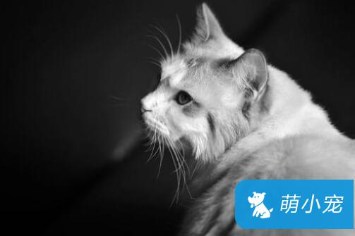 布偶猫不吃东西怎么办?分析原因