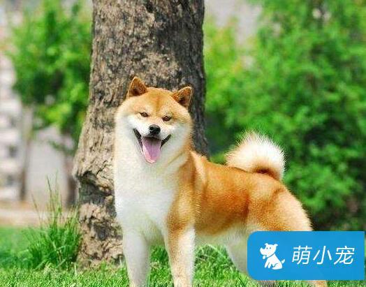 柴犬幼犬乳牙和成犬牙齿区别