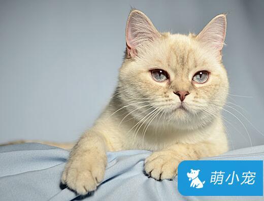英国短毛猫能活多久