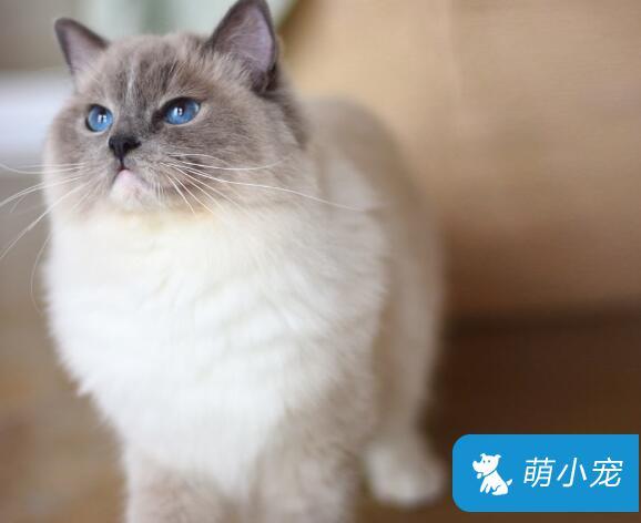 布偶猫呕吐是怎么回事?该怎么处理