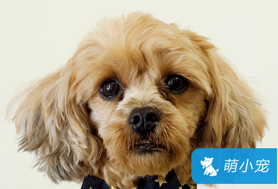 贵宾犬泪痕如何洗掉 做好这6步,恢复狗狗漂亮的眼睛!