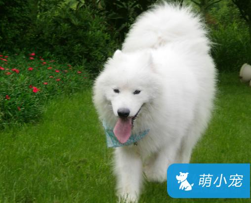 萨摩耶犬不长怎么办 长高、长壮就这6招最管用!